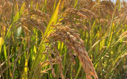 【农机推荐】早稻实现灾年丰收,机械化收割是重要一环