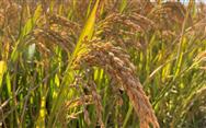 农业农村部:加大粮食生产支持力度,已安排40多亿元支持早稻生产