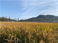 今年粮食生产形势如何?多灾之年为何能丰收?农业农村部部长这样回答